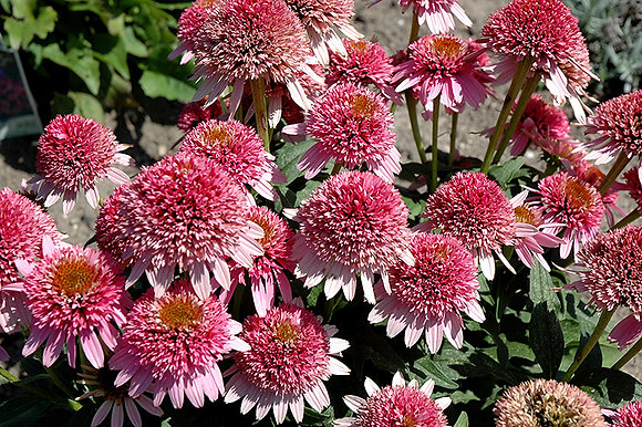 Echinacea Butterfly Kisses 1gal #24364