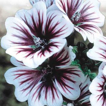 Malva  -  McKenzie Seed