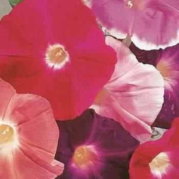 Morning Glory  -  McKenzie Seed