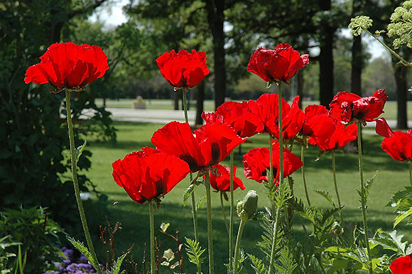 Poppy Beauty of Livermore 1gal #27397