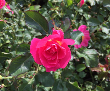 Rosa 'Aurora Borealis' (49th Parallel) 2gal R-