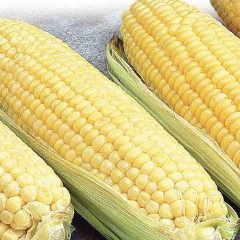 Corn Canadian - McKenzie Seed