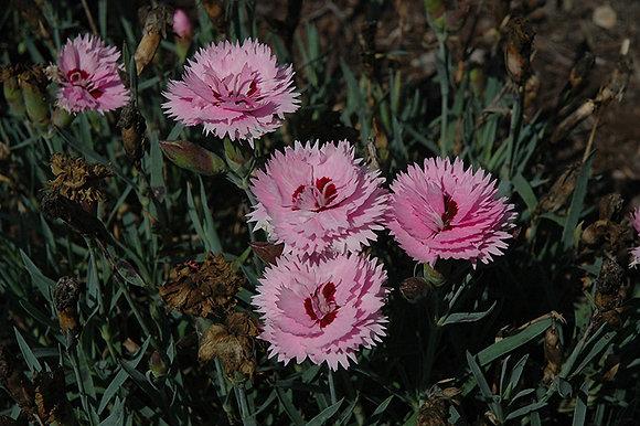 Dianthus Lavender Plus Eye Pinks 1gal #29414