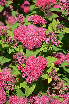 Spirea japonica 'Double Play Red'