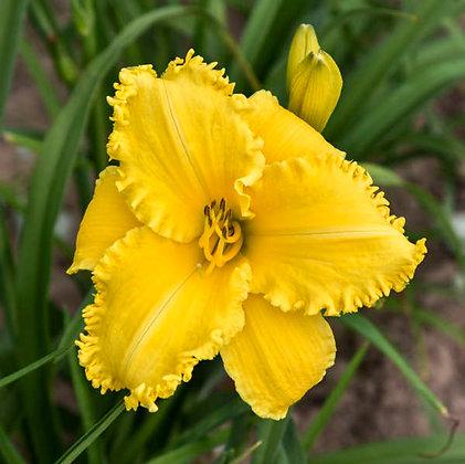 Hemerocallis  'Erin Lea' - Daylily 1 gal