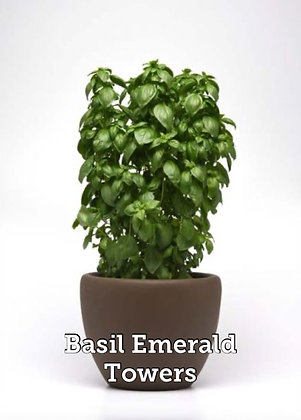 """Herb Basil Emerald Towers 4"""" Pot"""