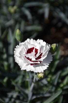 Dianthus '1st Scent Coconut Surprise' 1gal