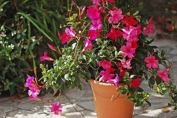 Mandevilla Bush 'Pink'