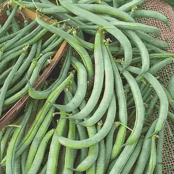 Bean Tendergreen Improved Bush   -  McKenzie Organic Seed