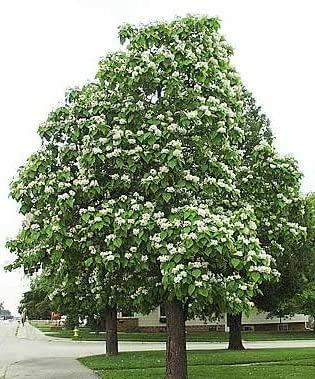 Tree Northern Catalpa 250cm #9120