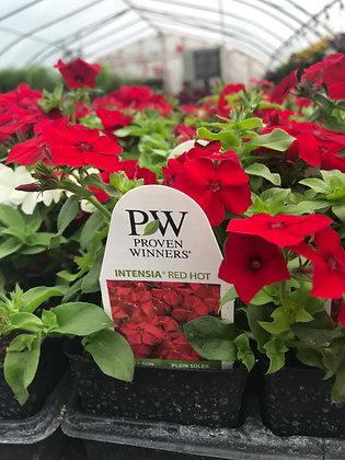 "Annual Phlox Intensia Red Hot  - 3.5"" pot   (bs-)"