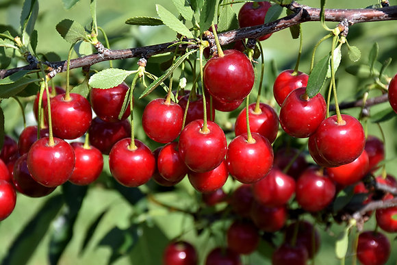 SF Cherry Crimson Passion 1gal #27137