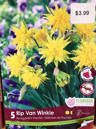 Daffodil - Rip van Winkle