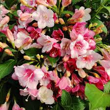 Weigela 'Czechmark Trilogy'
