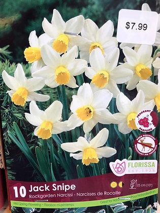 Daffodil - Jack Snipe