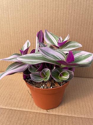 """Tradescantia 'Nanouk'  -  Silver Inch Plant   5"""""""