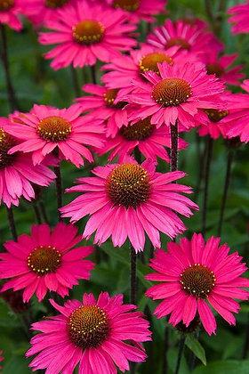 Echinacea 'Pink Fascinator' - Coneflower 1gal
