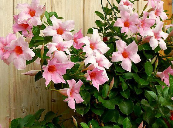 Mandevilla Bush 'Cream Pink'