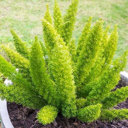 Asparagus aethiopicus  -  Foxtail Fern