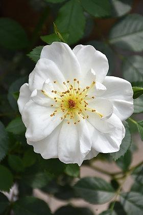 Rose Artist Oscar Peterson 2 Gal (R-)