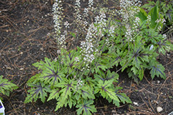 Tiarella Cutting Edge (Foamflower) 1gal