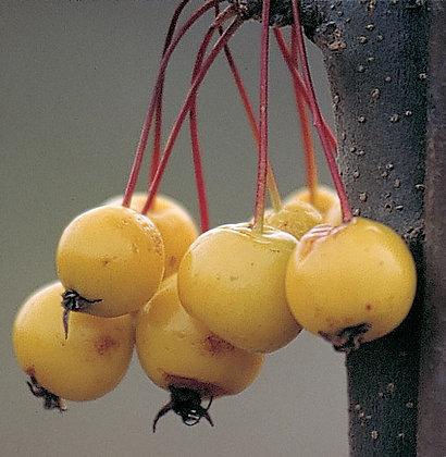 Malus 'Harvest Gold' - Flowering Crab