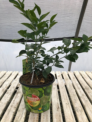 Citrus - Lemon - 3 Gallon
