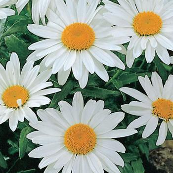 Daisy Shasta Alaska  -  McKenzie Seed