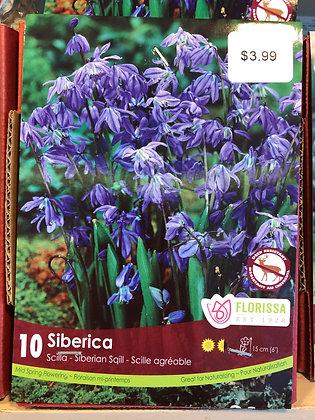 Scilla - Siberica