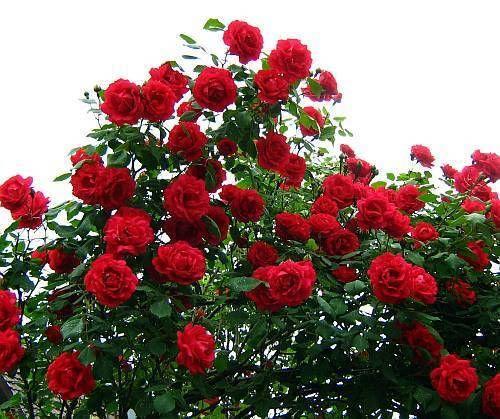 Rosa 'Crimson Cascade'  (Climbing) 2gal  R-
