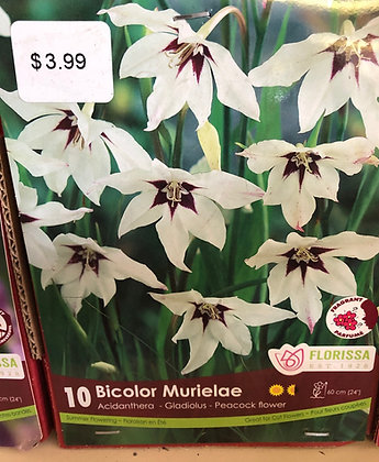 Bulb - Acidanthera Bicolor Murieiae