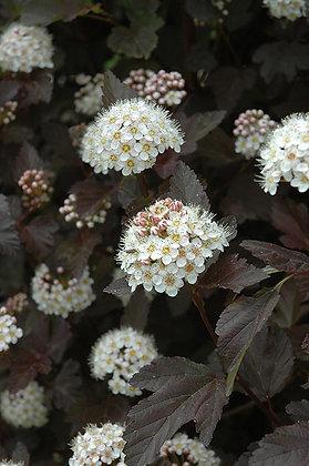 Physocarpus opulifolius 'Diabolo'  -  Ninebark