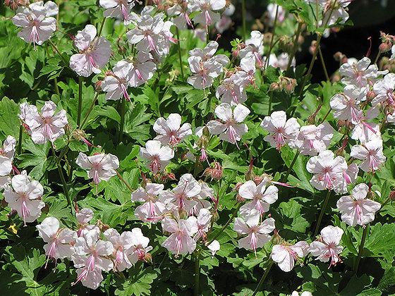 Geranium cantabrigiens 'Biokovo' - Cranesbill 1gal