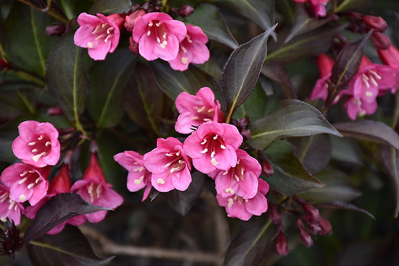 Weigela 'Wine and Roses'