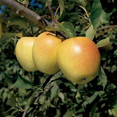 Malus 'Honey Gold'  -  Apple