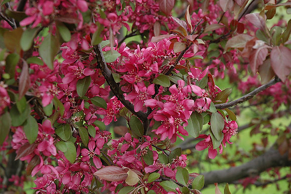 FC Flowering Crabapple Profusion 45mm wb #8262