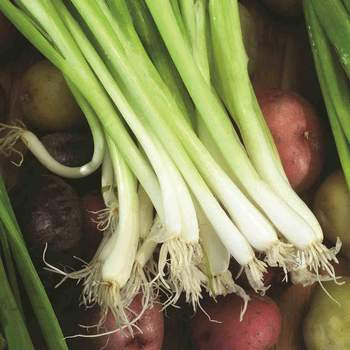 Onion  -  McKenzie Organic