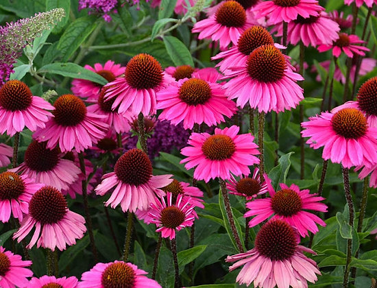 Echinacea 'Sensation Pink' - Coneflower 1gal