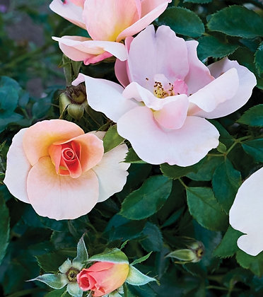 Rosa 'Chinook Sunrise'  (49th Parallel) 2gal  R-