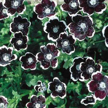 Nemophilla Penny Black  -  McKenzie  Organic