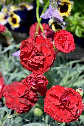 Dianthus 1st Scent Passion 1gal #21182