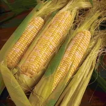 Corn Peaches and Cream - McKenzie Seed