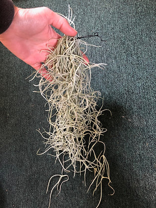 Air Plants - Usneoides Thick Form