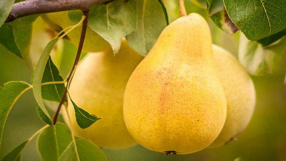 Pyrus 'Bartlett'  -  Pear