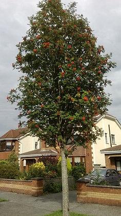 Tree Mountain Ash Pyramidal 7gal 175cm #29608