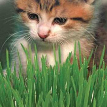 Catgrass   -  McKenzie  Seed