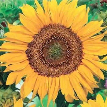 Sunflower Sunspot   -   McKenzie Seed