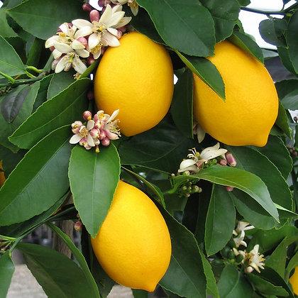 Citrus x meyeri  'Meyer'  -  Lemon 1gal