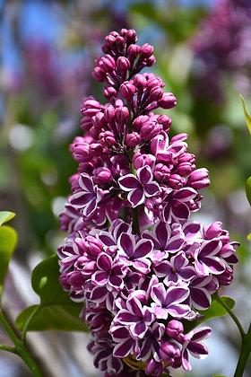 Syringa vulgaris 'Sensation'  -  Lilac