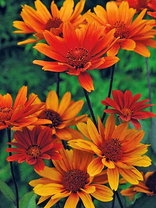 Heliopsis 'Bleeding Hearts' - False Sunflower  1gal
